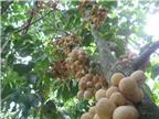 Kỹ thuật trồng cây Bòn bon cho sai quả, tránh sâu bệnh